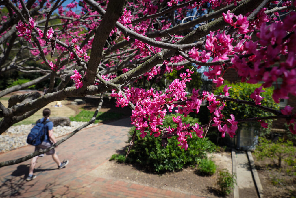 Students walk towards the Talley Student Union, framed by flowering trees during springtime.